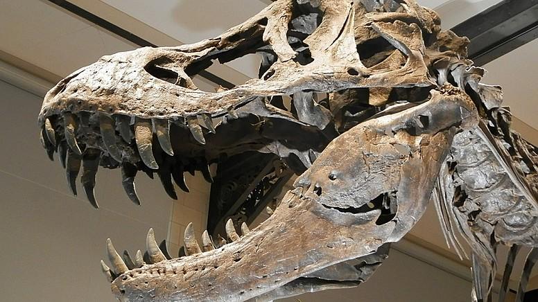 Dünyanın En Yaşlı ve En Büyük Fosili Bulundu: Tyrannosaurus Rex!